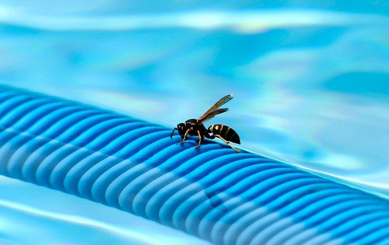 an aggressive wasp exploring a frisco pool noodle durring the hot sunny days of summer