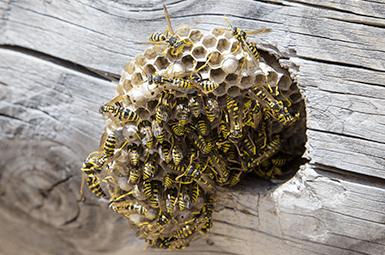 wasps in nest