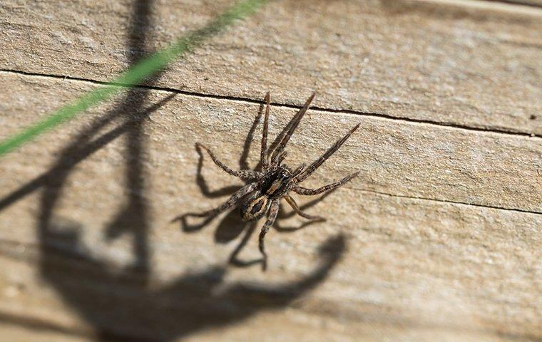 a wolf spider crawling on a wall