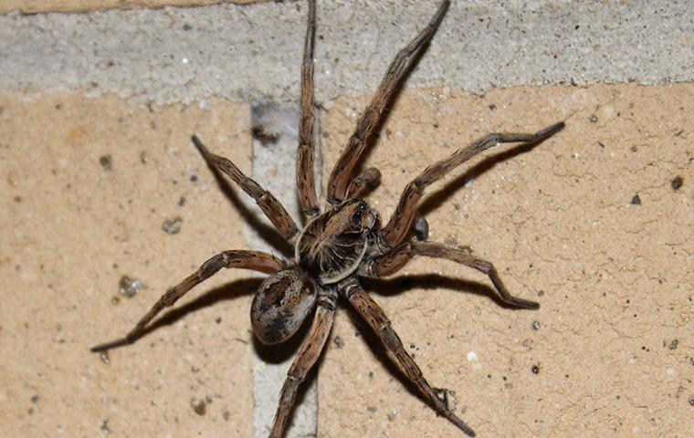 a wolf spider crawling along the basement wall in a frisco texas home