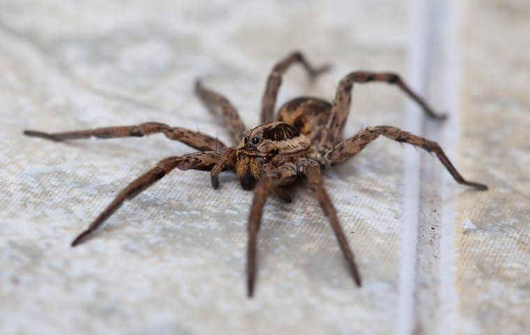 wolf spider on tile floor