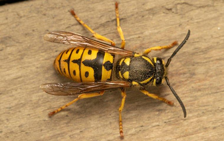 a yellow jacket wasp crawling on a wooden table