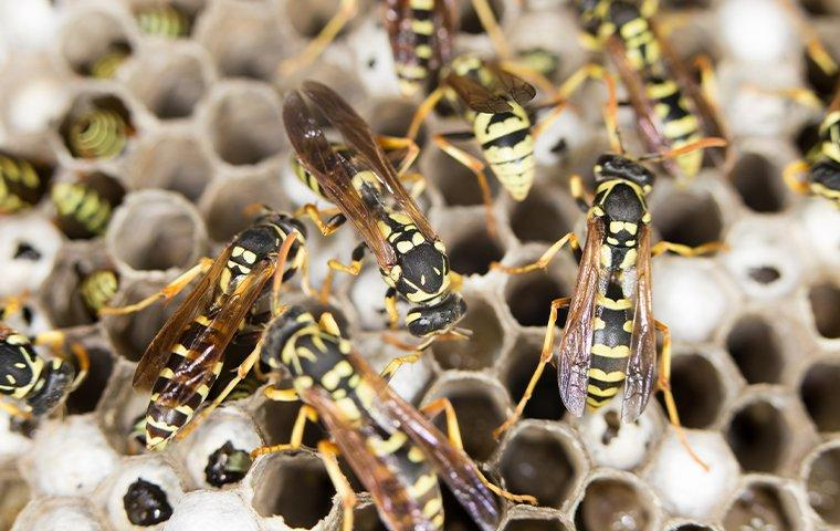 yellow jackets on a nest