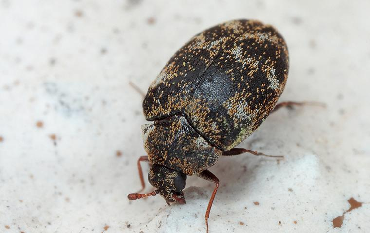 an adult carpet beetle in dallas home