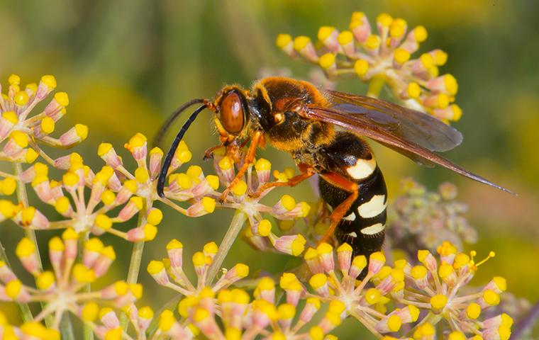 a cicada killer wasp on yellow flowers