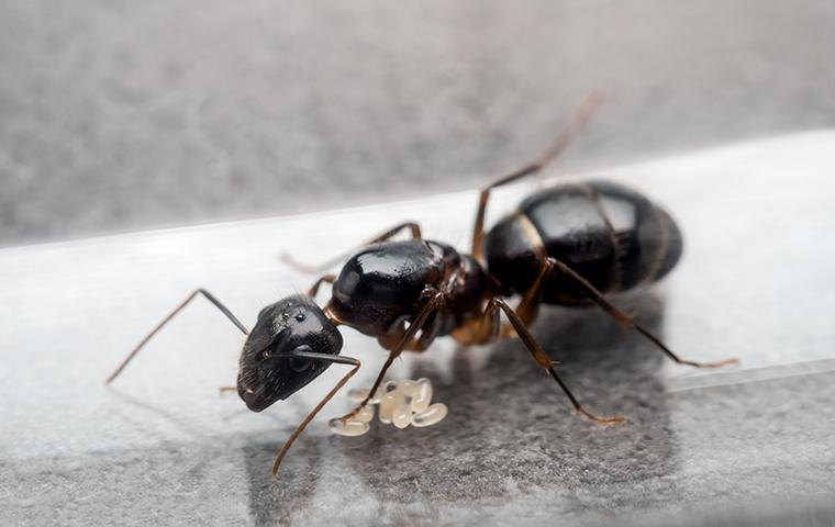 carpenter ant eggs on kitchen counter