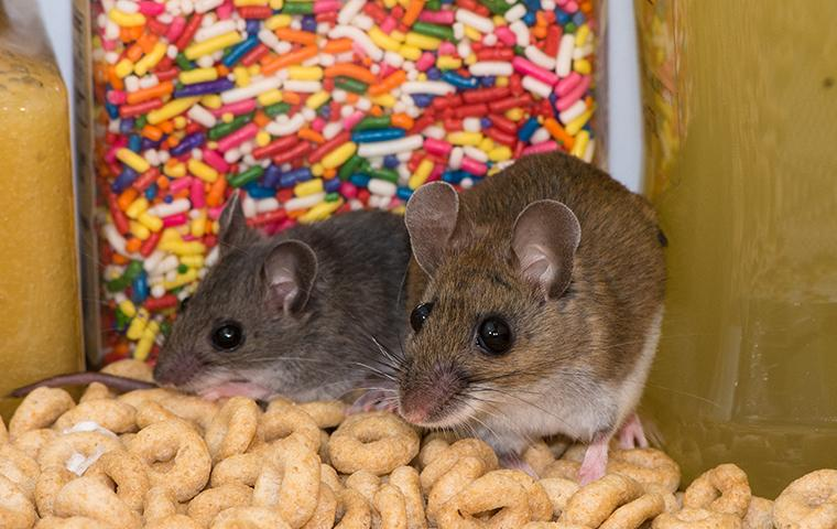 two house mice in a cabinet