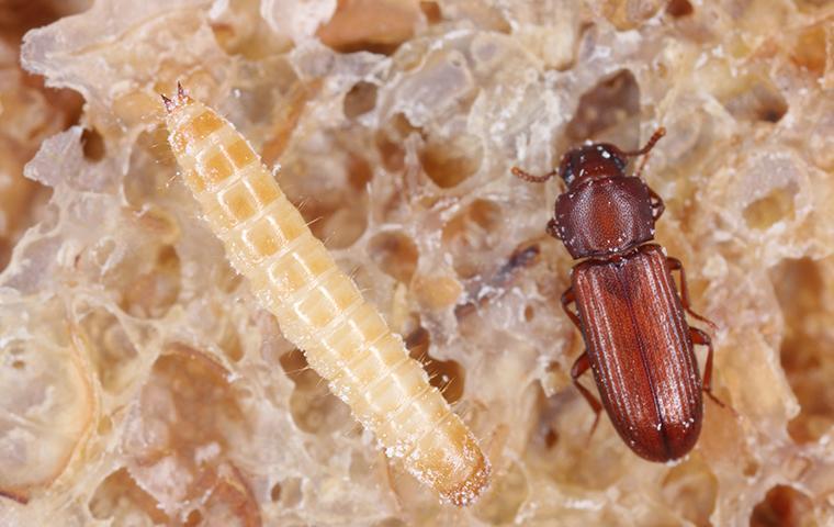 confused flour beetle and larvae on old bread