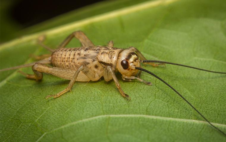 a house cricket on a leaf