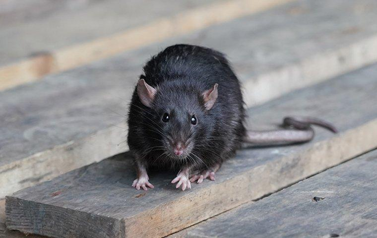 a rat crawling on wooden pallets outside a fairview business