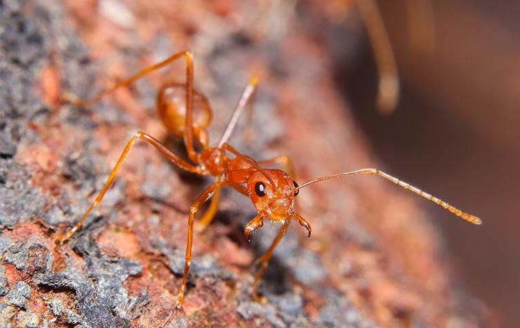a fire ant climbing down the bark of a tree