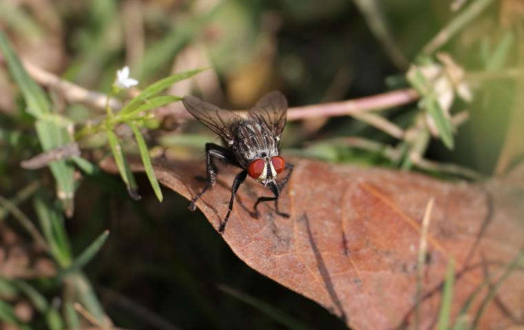 a flesh fly on a leaf in texas