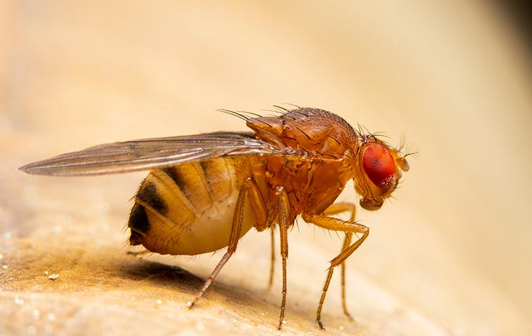 a fruit fly in kitchen searching for food