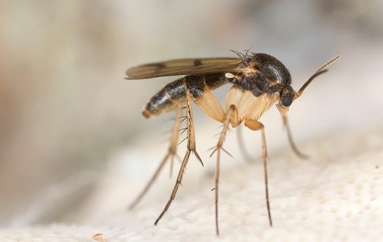 a fungus gnat in a texas home