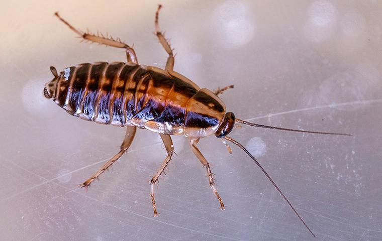 a german cockroach on a clear plastic container