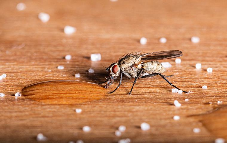 a house fly drinking sugar water off a kitchen table