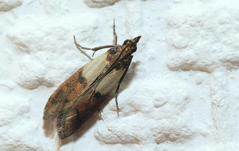 an indian meal moth in a home in dallas