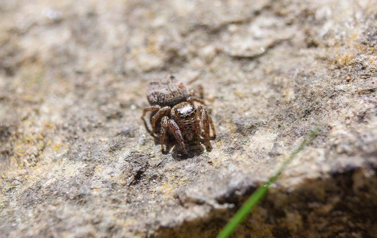 a small jumping spider on a rock in northern texas