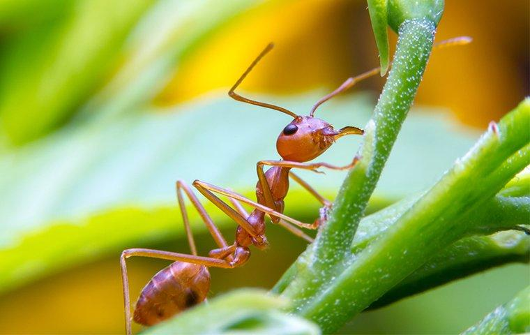 a fire ant up close on a plant