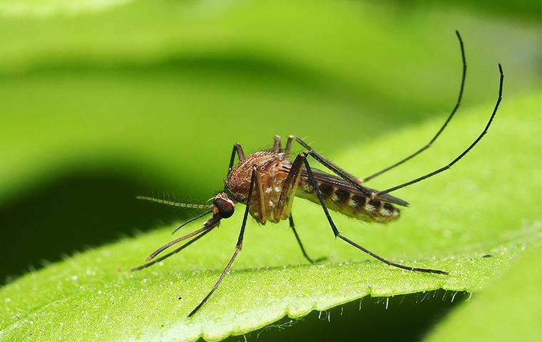 mosquito sitting on a leaf