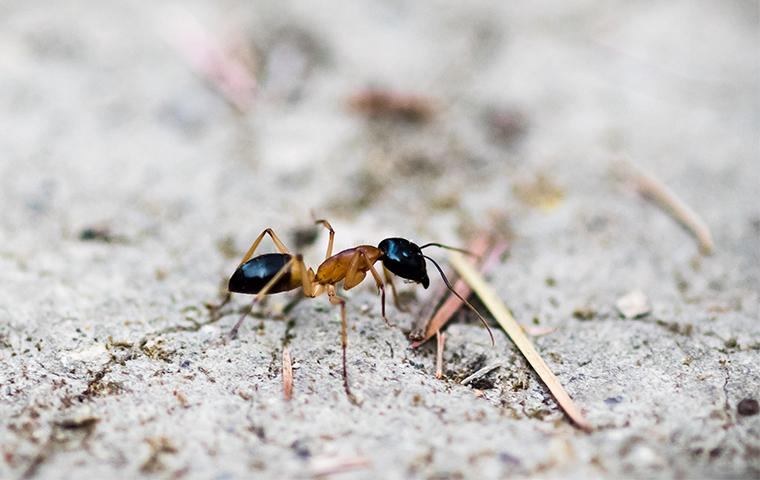 an odorous house ant outside of a house in dallas texas