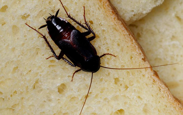 an oriental cockroach on some slices of bread