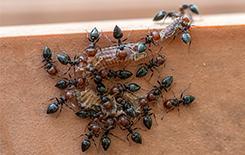 acrobat ants on bathroom floor