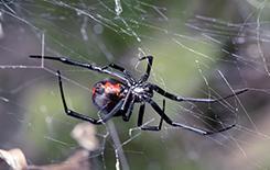 black widow spider outside dallas home
