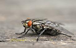 blow fly close up