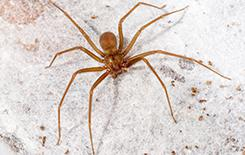 brown recluse spider on exterior of dallas home