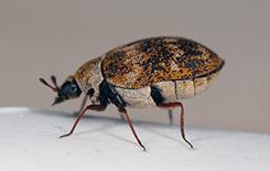 adult carpet beetle