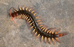large centipede in basement