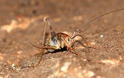 a camel cricket outside home in dallas