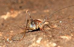a camel cricket outside home in dallas