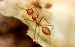 a fire ant on a dead leaf
