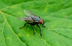 flesh fly up close on a leaf