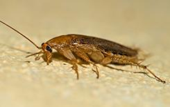 german cockroach on the floor of a kitchen in a texas home