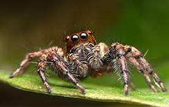 jumping spider on a leaf in dallas
