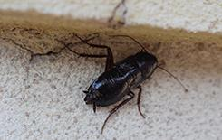 an oriental cockroach in a basement