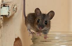 a little house mouse in kitchen cabinet