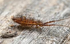 a springtail on a piece of wood