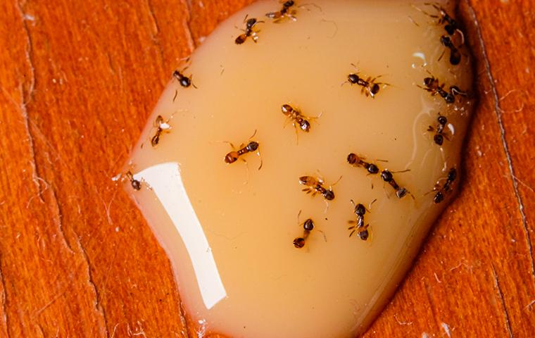 pharaoh ants eating some caramel on a kitchen table