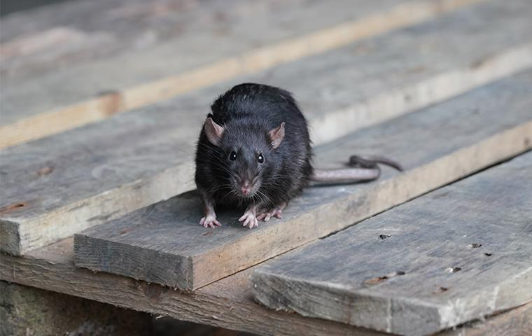 a roof rat on the boards of a porch on a dallas home