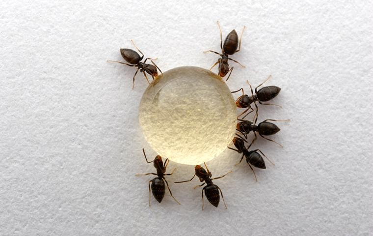 rover ants circled up around a drop of sugar water
