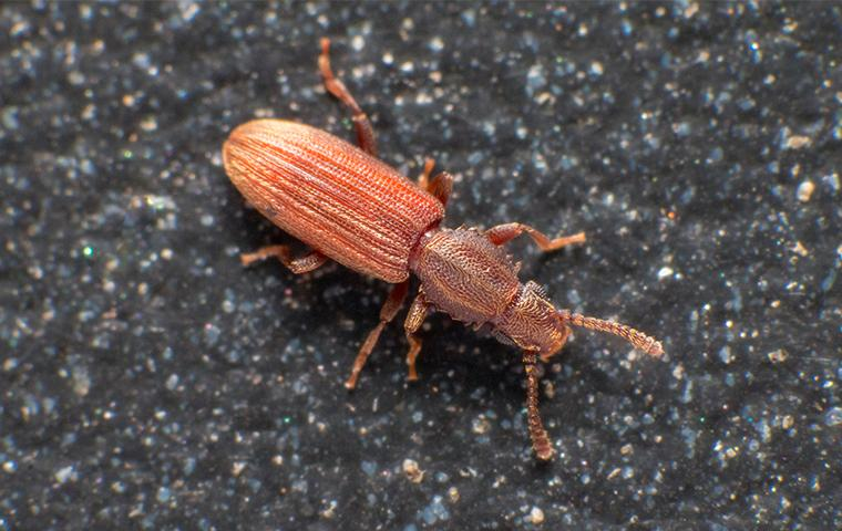 a saw toothed grain beetle in a house in texas