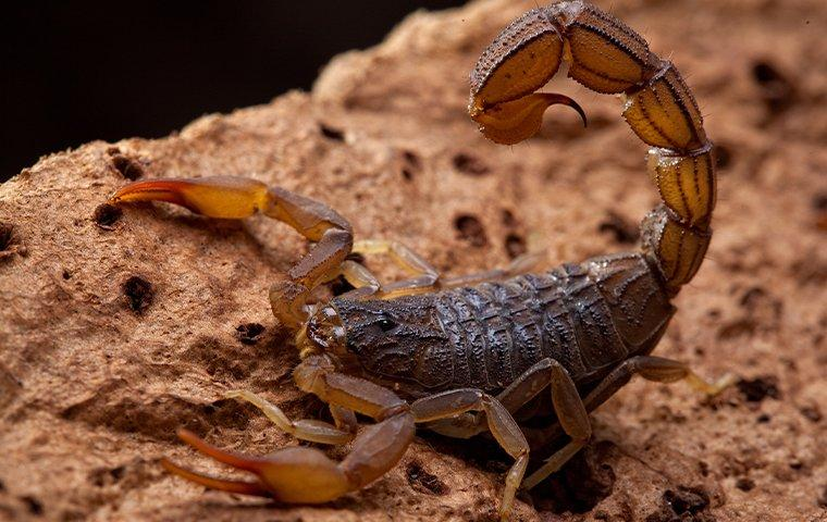 a scorpion perched on a rock ready to sting