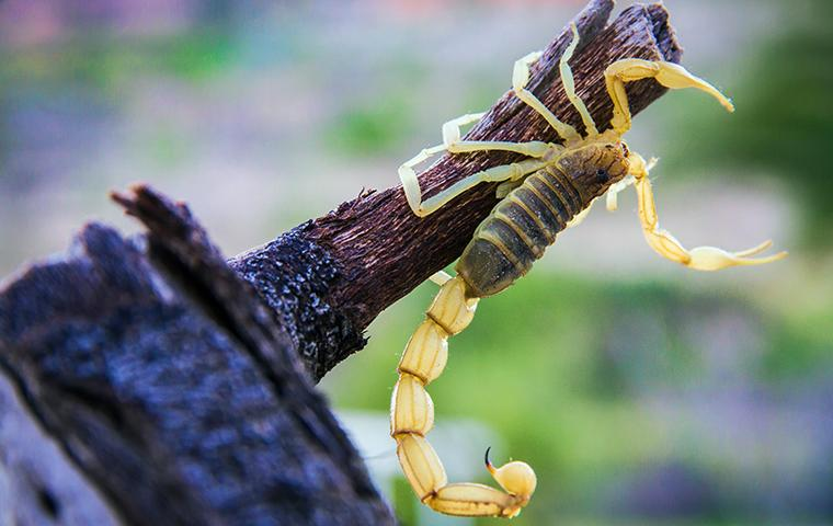 a scorpion hanging from a branch in texas