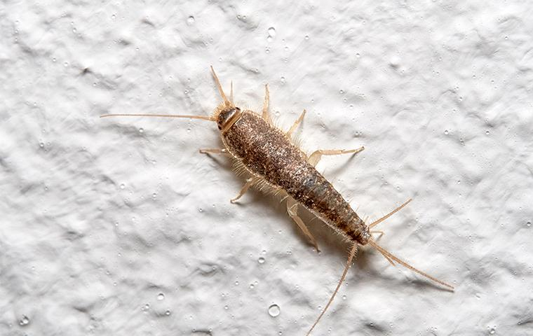 a silverfish in a dallas texas home