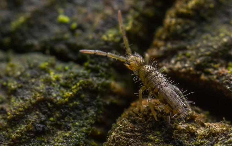 a springtail on a wet fence post in texas