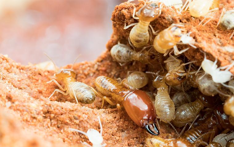 a large solder termite